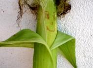 Lutke od kukuruza
