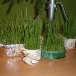 Sv. Lucija i sijanje božićne pšenice